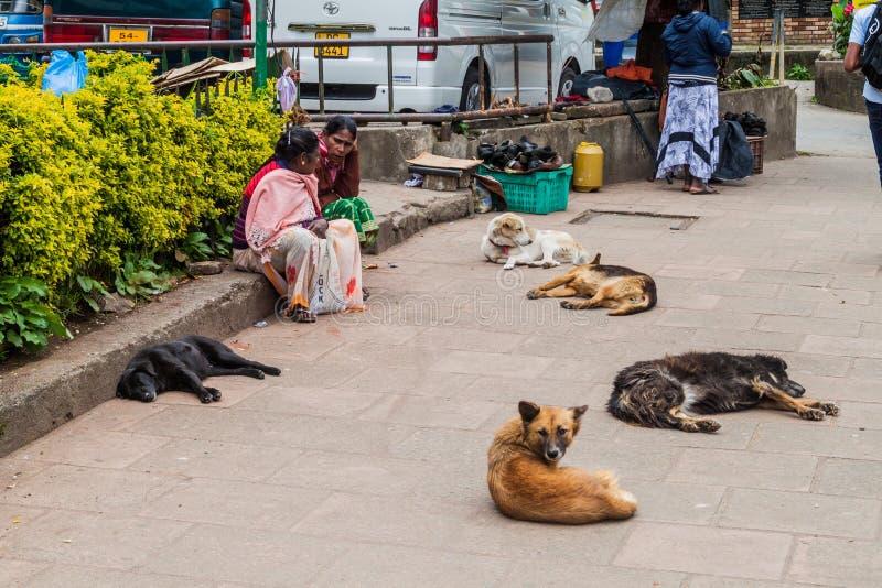 NUWARA ELIYA, SRI LANKA - 17. JULI 2016: Streunende Hunde auf einer Straße in Schleppseil Nuwara Eliya lizenzfreie stockfotografie