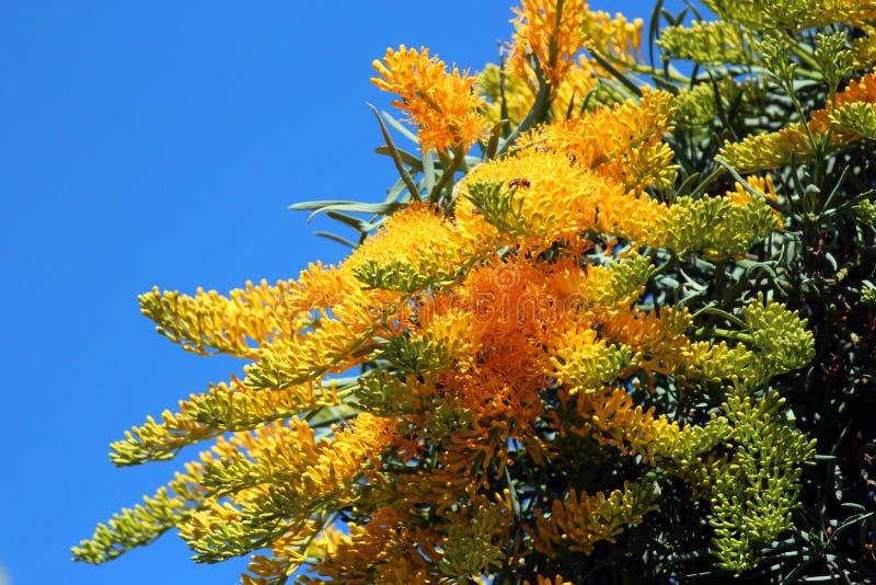 Nuytsia Floribunda - arbre de Noël australien images stock