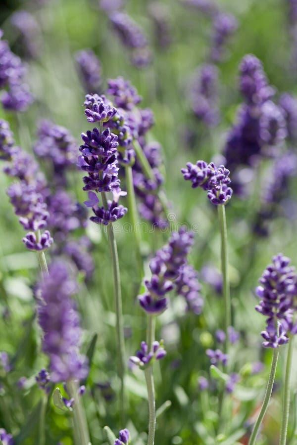 Ny aromatisk lavendel i den utomhus- korgmakroen arkivbilder