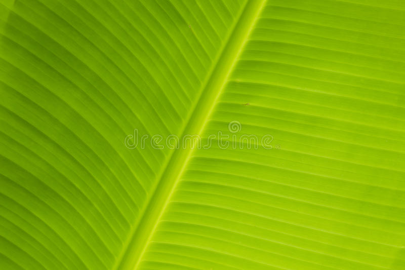 Ny bananleaf royaltyfri fotografi