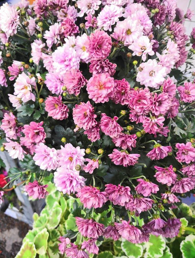 Ny blom- bakgrund med vibrerande röda och orange krysantemumHardy Mums blommor royaltyfria foton