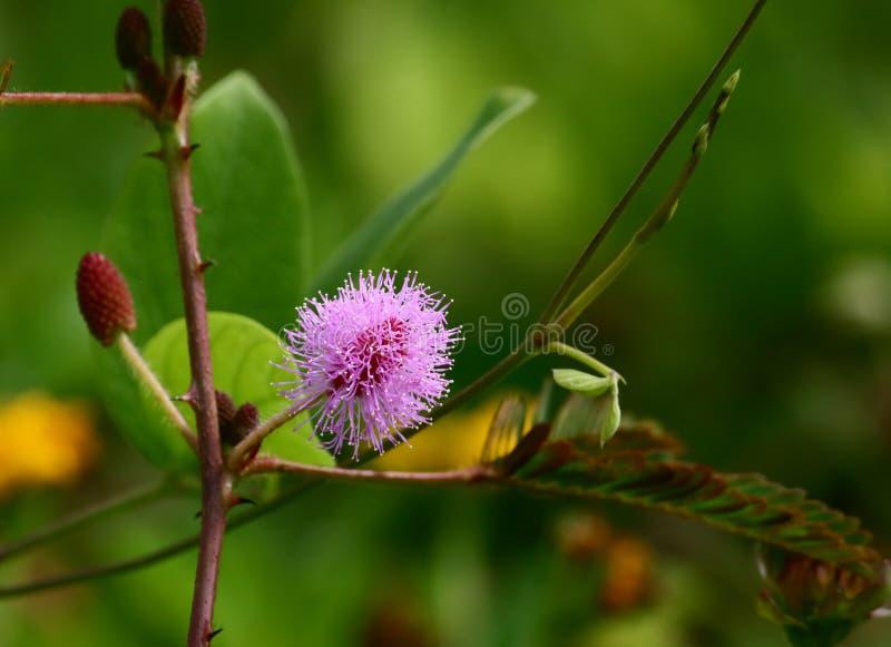 Ny blomma för härlig mimosapudica i natur arkivfoto