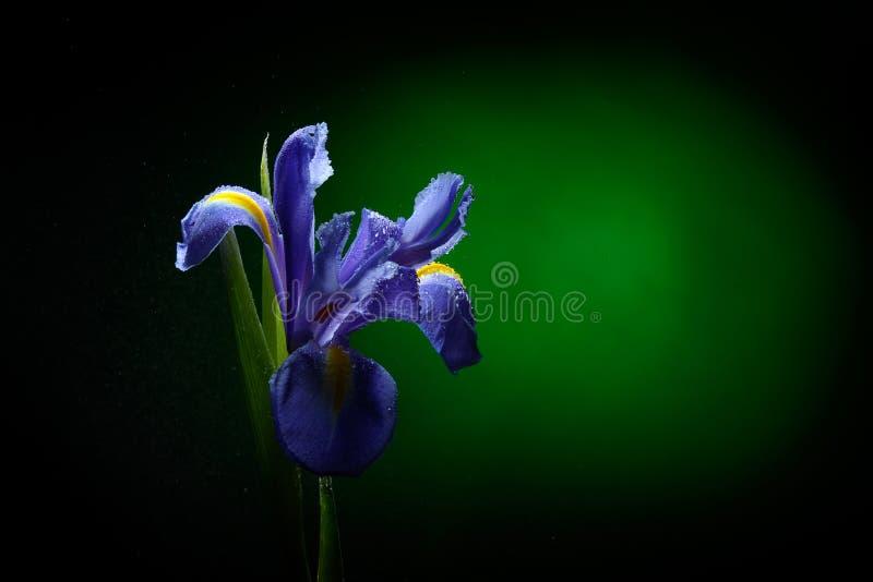 Ny blomma med vattendroppar royaltyfri bild