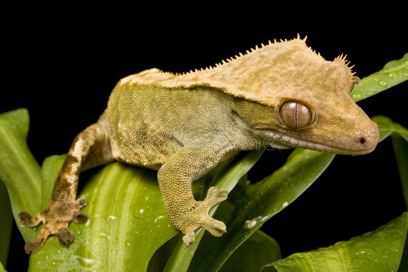 ny caledonian gecko arkivfoton
