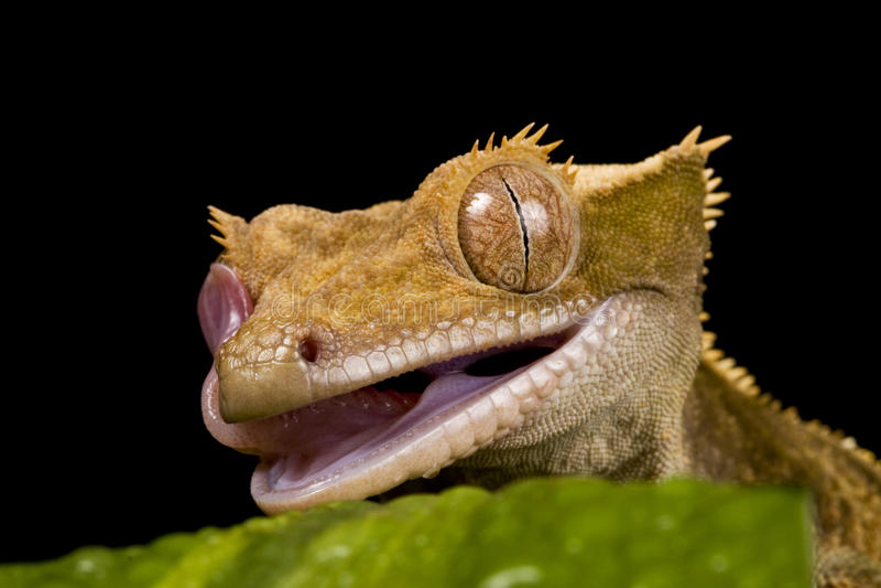 ny caledonian gecko royaltyfri foto