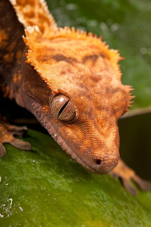 ny caledonian krönad gecko royaltyfria bilder