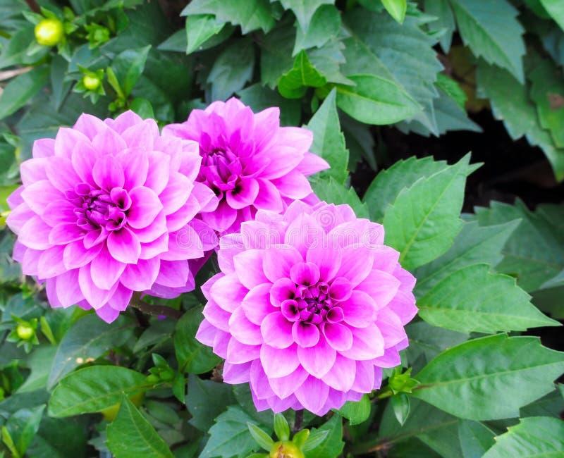 Ny dahliablomma på trädgården royaltyfri fotografi