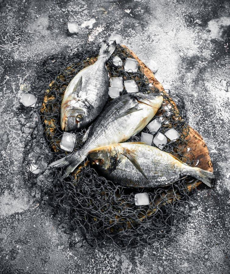 Ny Dorado fisk med iskuber fotografering för bildbyråer