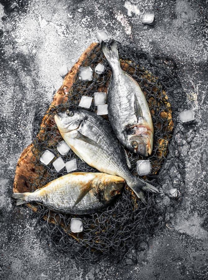 Ny Dorado fisk med iskuber royaltyfria foton