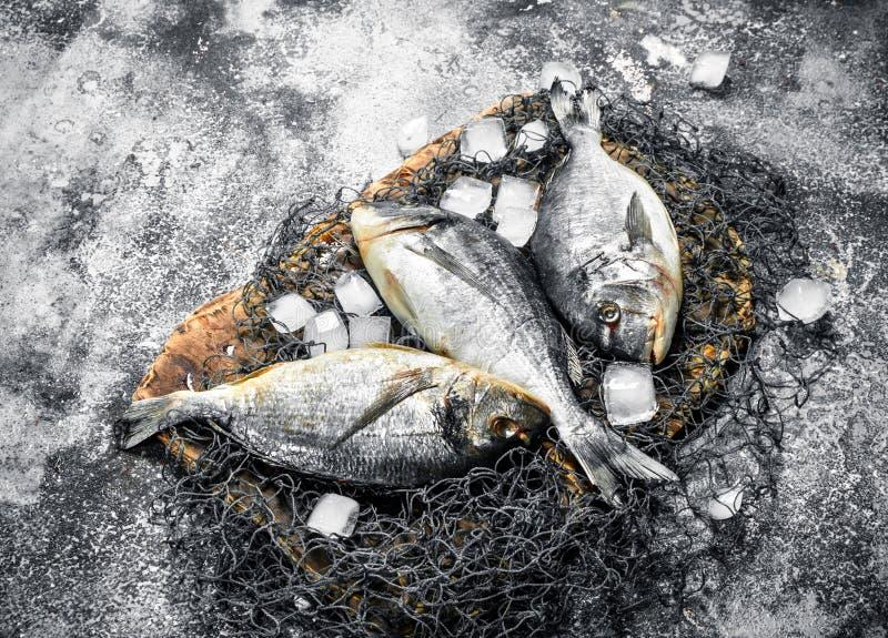 Ny Dorado fisk med iskuber royaltyfri foto