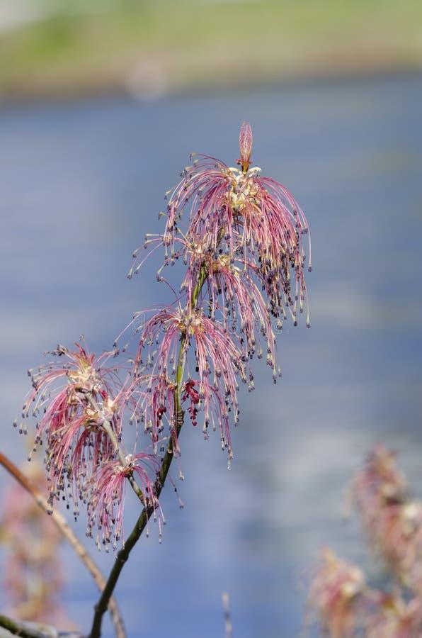 Ny filial med blomningen av manitoba l?nn fotografering för bildbyråer