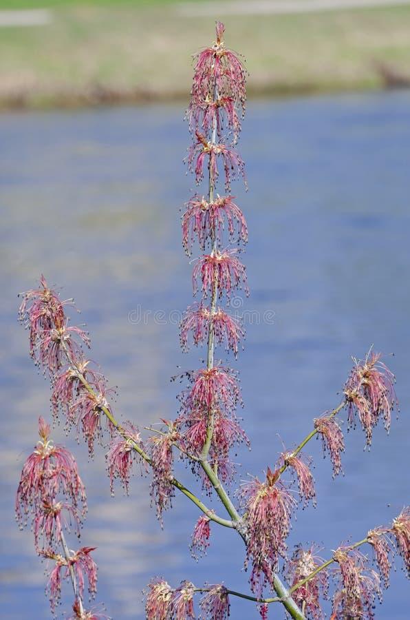 Ny filial med blomningen av manitoba l?nn royaltyfri bild