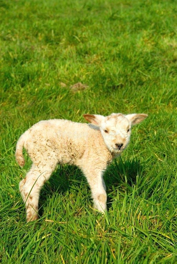 ny fjäder för födda lambs arkivbild
