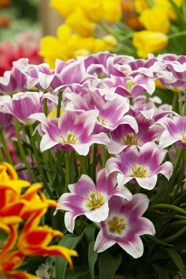 Ny gen av tulpan fotografering för bildbyråer