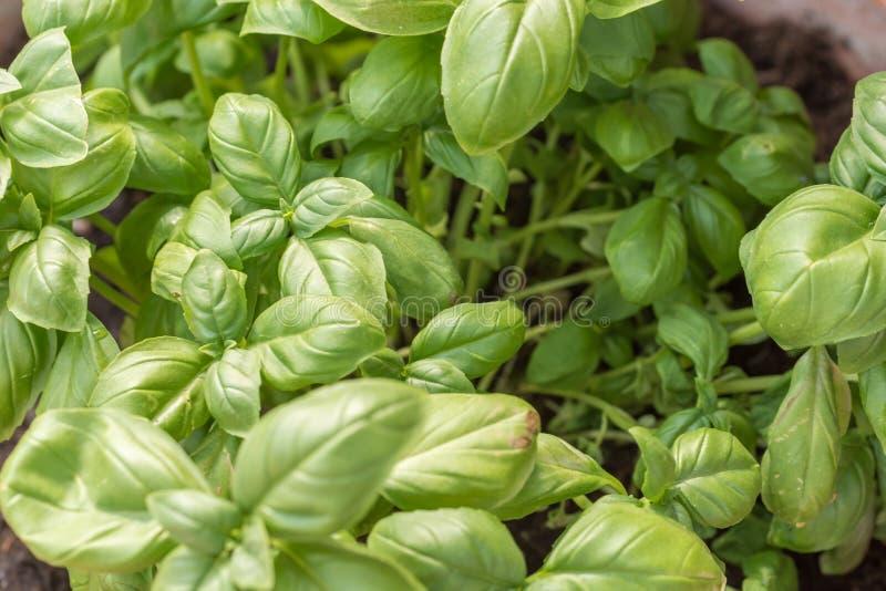 Ny grön basilika som den medelhavs- kryddaväxten arkivfoton