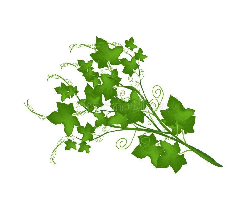 Ny grön Chayoteväxt på vit bakgrund stock illustrationer