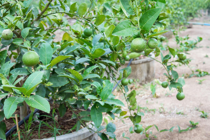 ny grön citron arkivfoton