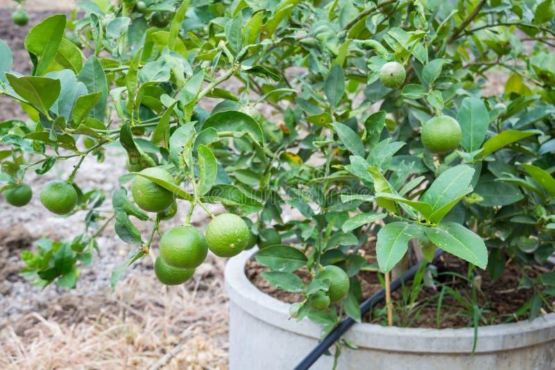 Ny grön citron eller limefrukt arkivbilder