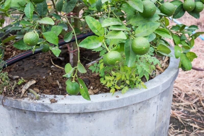 Ny grön citron eller limefrukt royaltyfri foto
