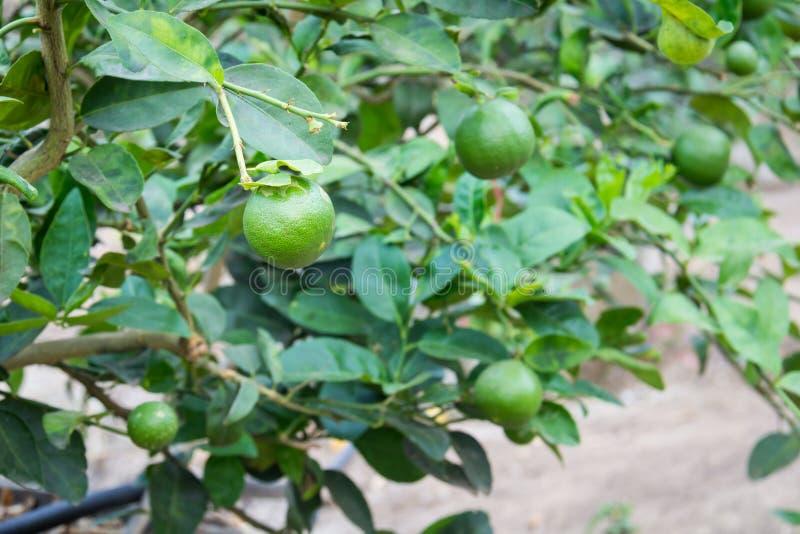 Ny grön citron eller limefrukt arkivfoton