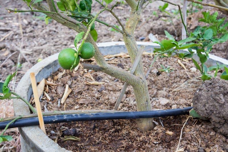 Ny grön citron eller limefrukt arkivbild