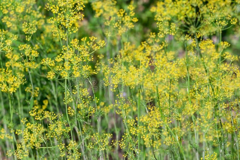 Ny grön dill med gula paraplyer Mogna dillfrö Suddig bakgrund, selektiv fokus royaltyfria bilder