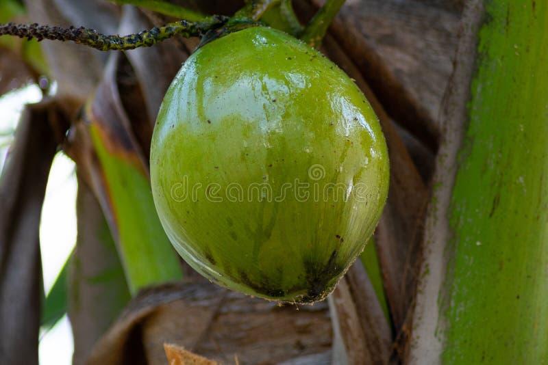 Ny gr?n kokosn?t som h?nger fr?n en palmtr?d arkivfoton