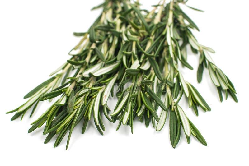 Ny grön kvist av rosmarin royaltyfria bilder