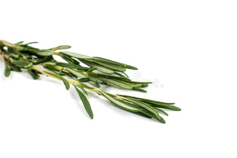 Ny grön kvist av rosmarin fotografering för bildbyråer
