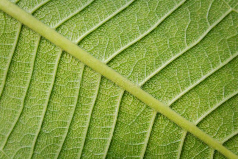 Ny grön LeaftexturCloseup arkivfoton