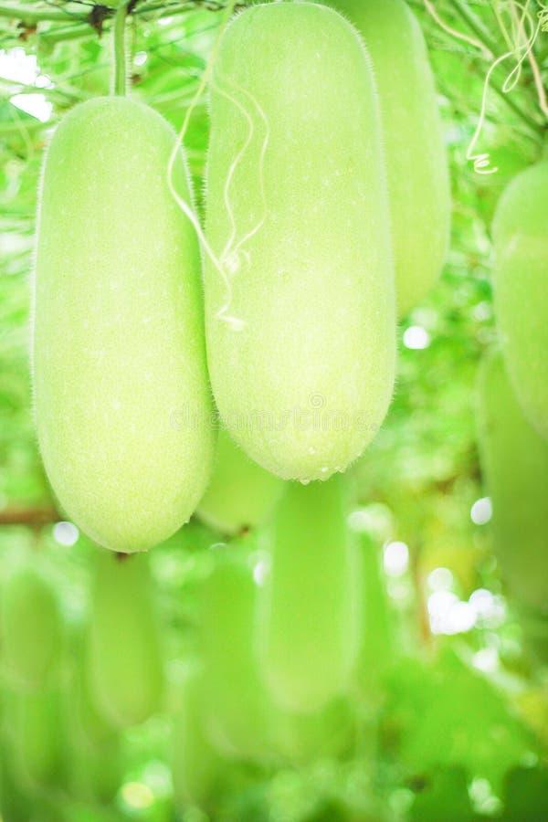 Ny grön organisk vintermelon eller benincasahispidagrupp med naturliga modeller för vattendroppe som hänger på trädbakgrund royaltyfria foton