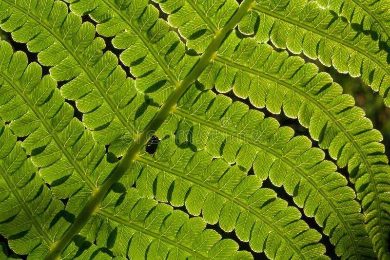 Ny grön ormbunke, naturlig bakgrund arkivbild