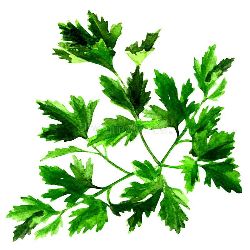 Ny grön persilja, vattenfärgillustration på vit vektor illustrationer