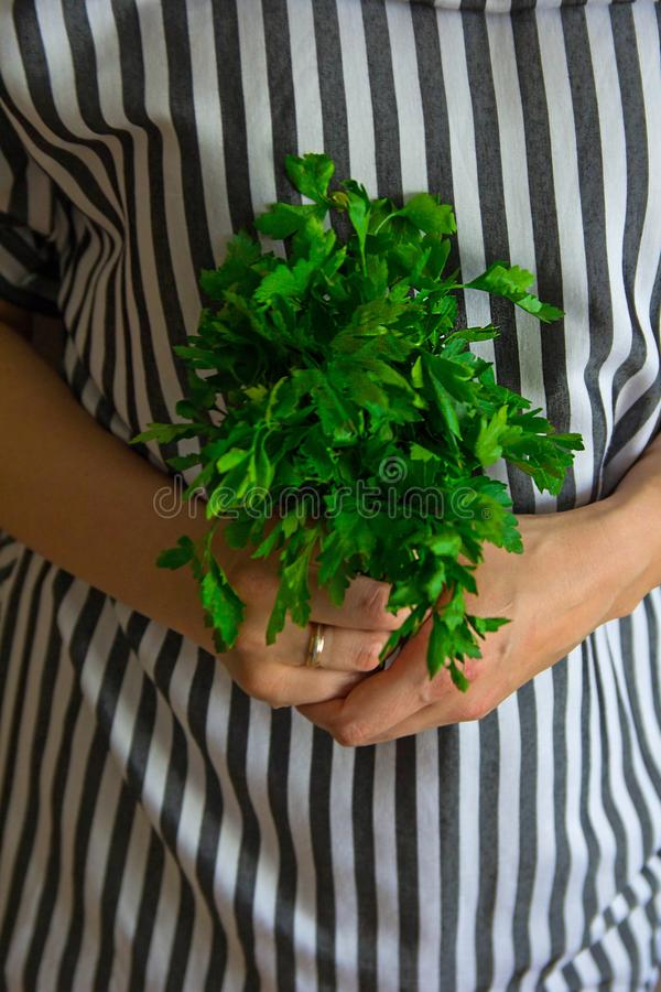 Ny grön rå persiljagrupp i chief'shänderna arkivfoto