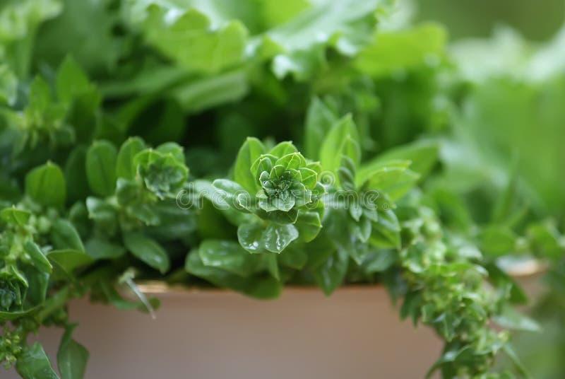 Download Ny grön sallad fotografering för bildbyråer. Bild av natur - 78726015