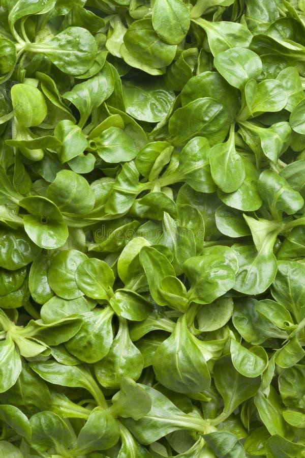 ny grön sallad för havre arkivbilder