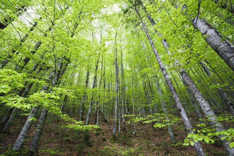 Ny grön vårbokträdskog royaltyfri foto