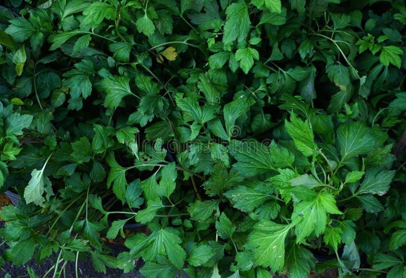 ny grön vit mugwort i marknaden arkivbilder