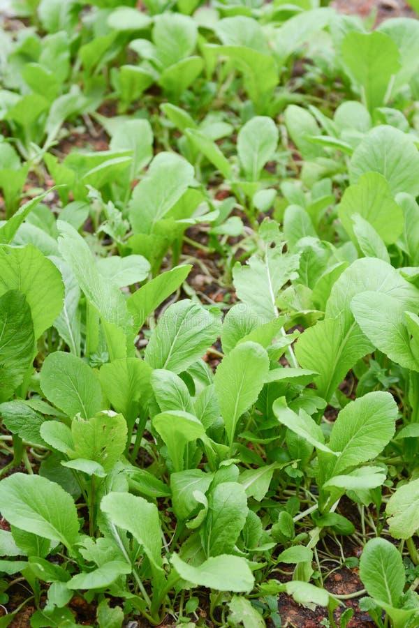 Ny grönkål i grönsaktäppa fotografering för bildbyråer