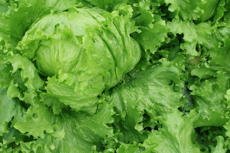 Ny grönsallat lämnar grönsaker för sallad, hydroponic grönsakväxt arkivbilder