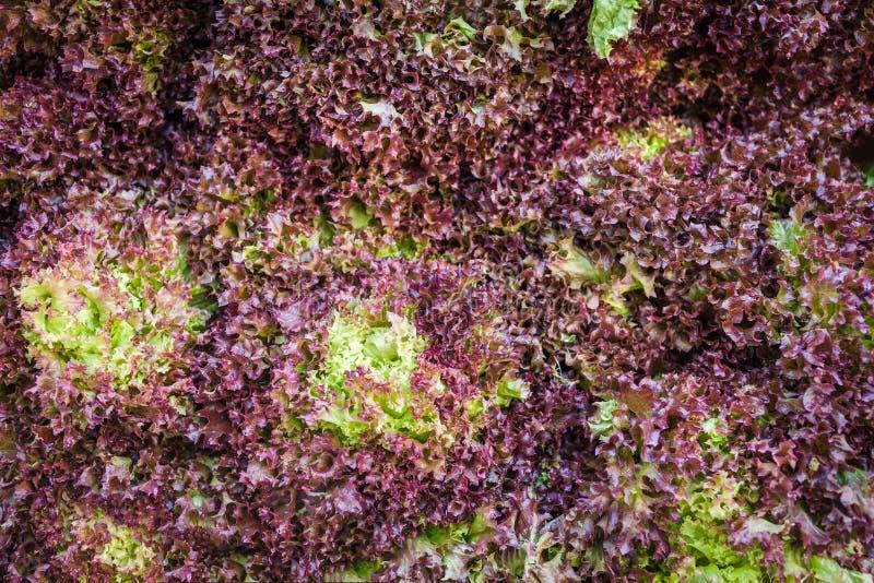 Ny grönsallatgrönsak för röd korall Röd och grön lockig sallad royaltyfri foto