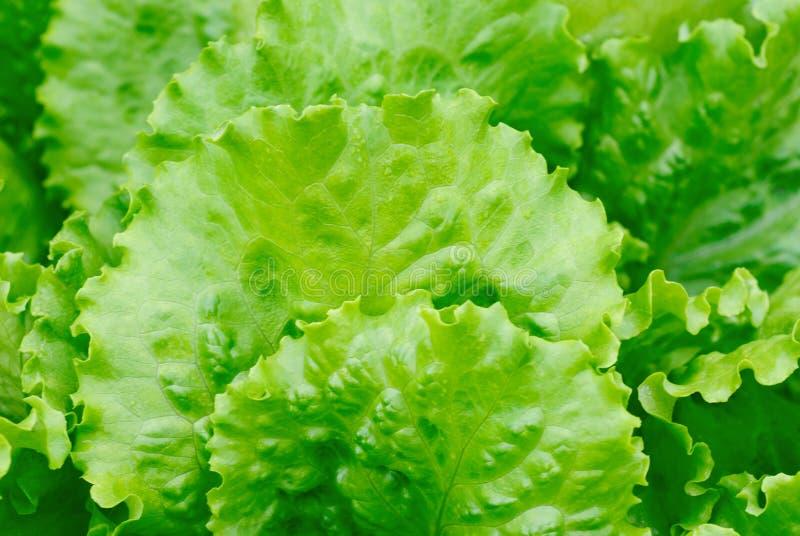 ny grönsallatsallad royaltyfri fotografi
