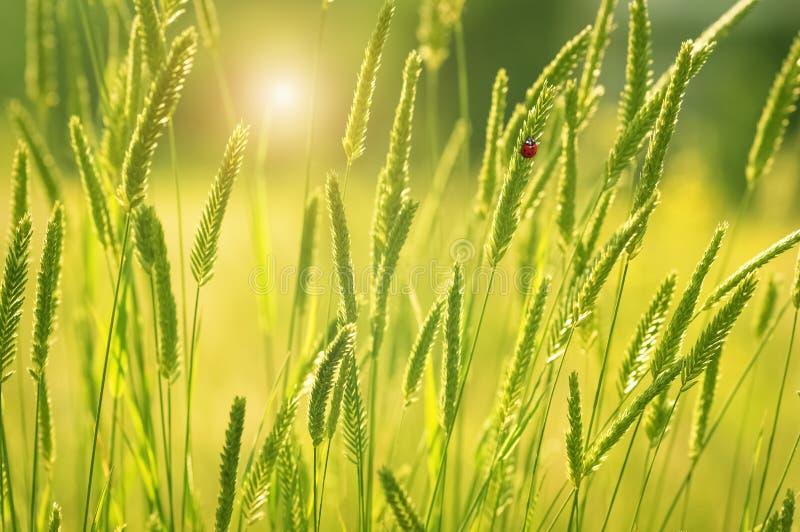 Ny grönt gräs, sol och nyckelpiga Härligt sommarlandskap, romantisk bild Selektiv fokus, st?lle f?r text royaltyfri fotografi