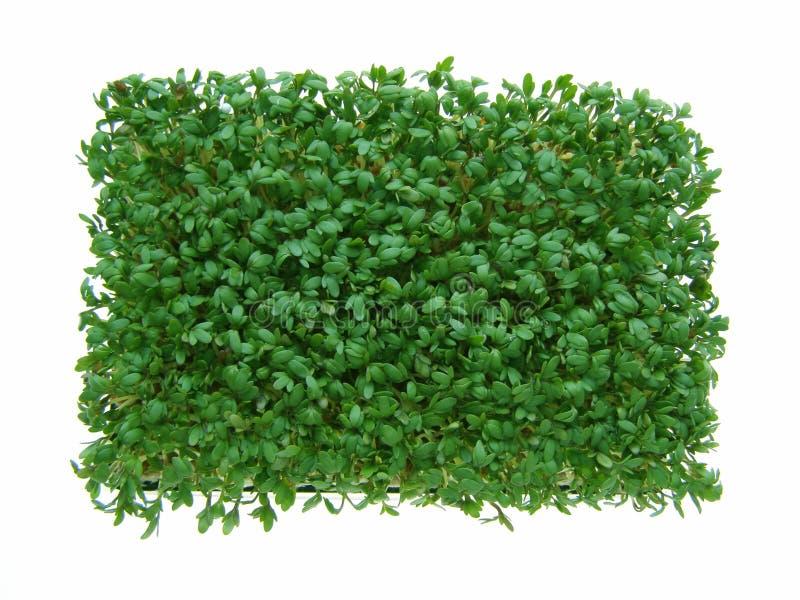 ny green för cress arkivbilder