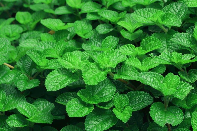ny green låter vara minten Naturmodell för bakgrund arkivbilder