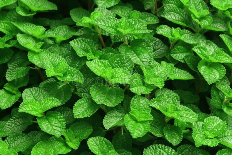 ny green låter vara minten Naturmodell för bakgrund arkivfoto