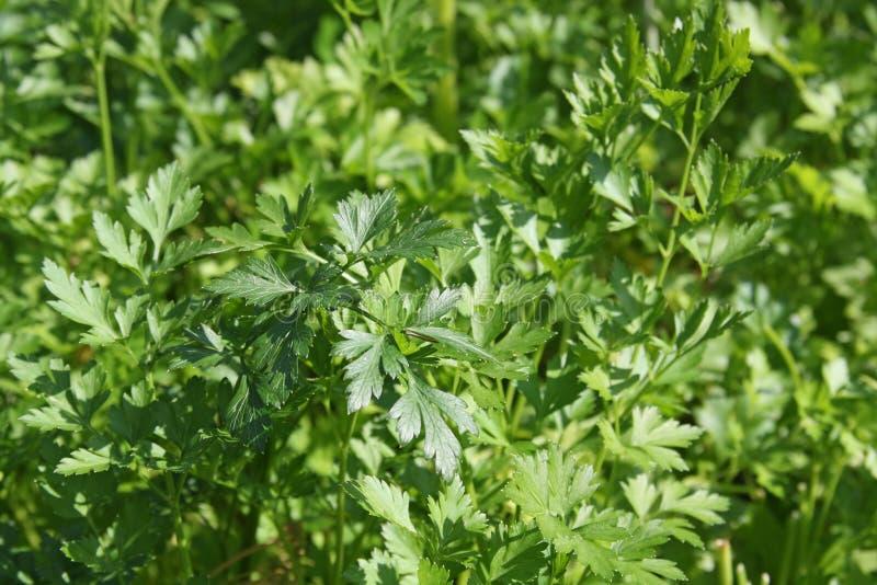 ny green låter vara parsley fotografering för bildbyråer