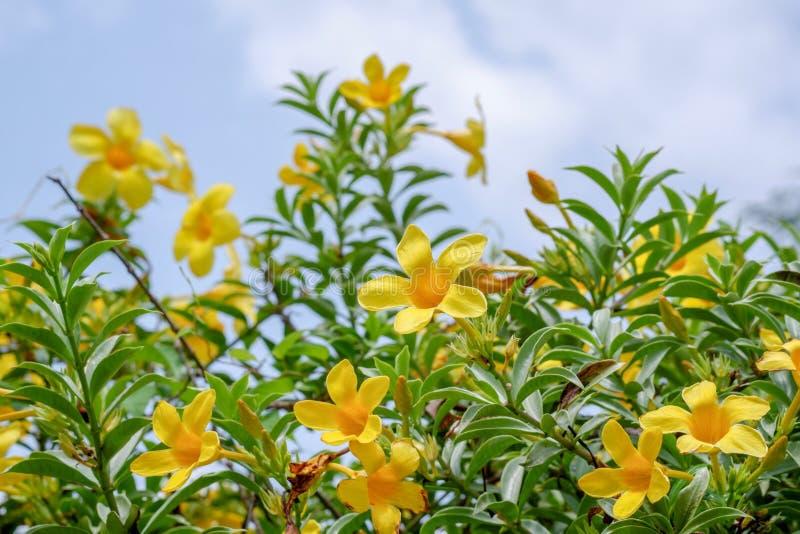 Ny gul allamanda royaltyfri bild