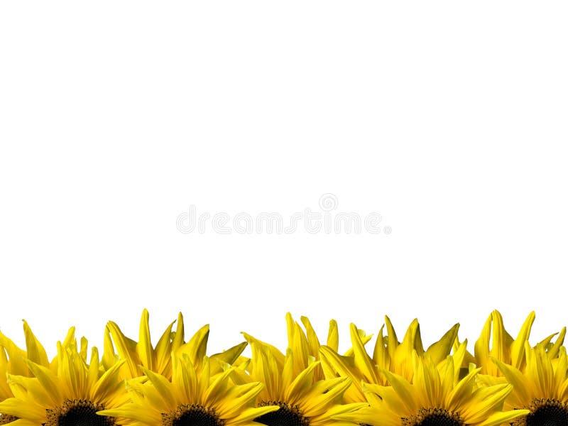 Ny gul solros på ramen som isoleras på vit bakgrund arkivbilder