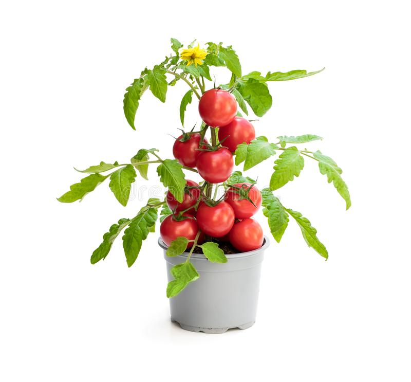 Ny hem - fullvuxen tomatväxt med tomater Begrepp av den enorma sk?rden royaltyfria foton